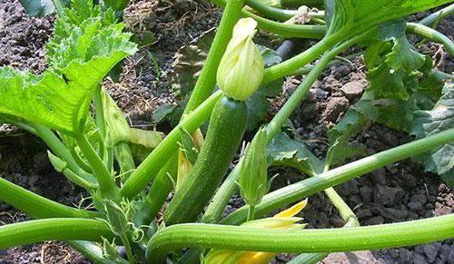 Zucchina 1
